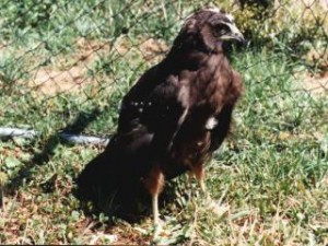 Australasian Harrier Chick at approx 6 weeks old