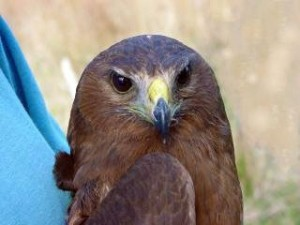 Australasian Harrier Hawk - young with Brown Eyes