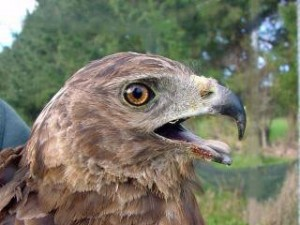 Australasian Harrier Hawk - approx 3 years - eyes orange