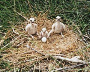 Three Australasian Harrier Chicks