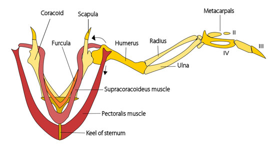 Bird Muscle Diagram - Electrical Work Wiring Diagram •