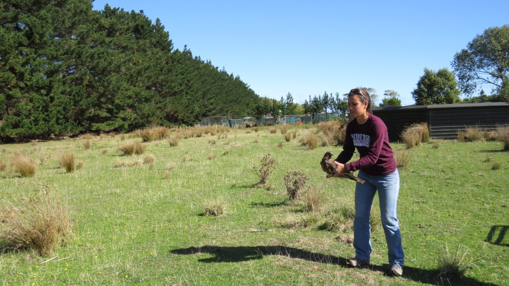 Program Leader Wendy releasing a Harrier Hawk