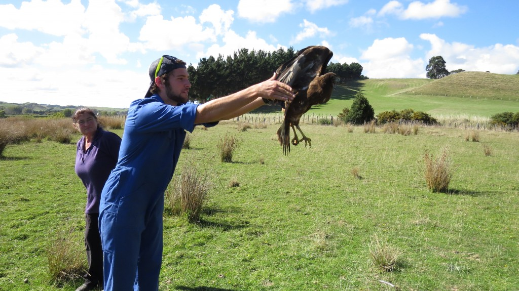 Charlie Releasing a Harrier Hawk